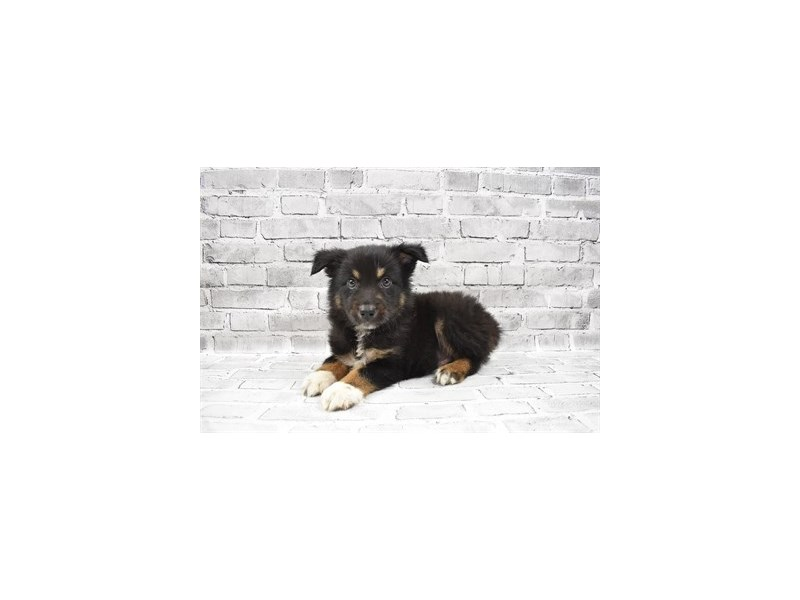 Australian Shepherd - Available 7/29-DOG-Male-Black and White-3238763-PetCenter Old Bridge Puppies For Sale