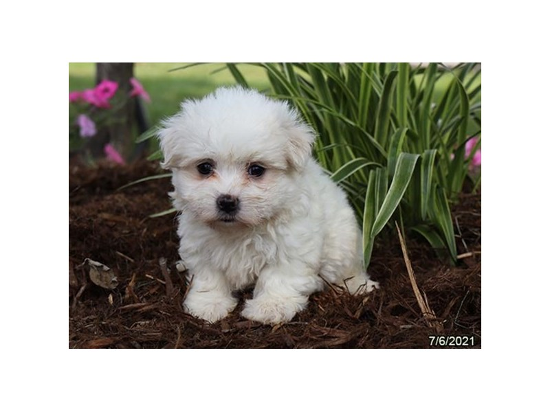 Maltese- Available 8/5-DOG-Female-White-3246603-PetCenter Old Bridge Puppies For Sale
