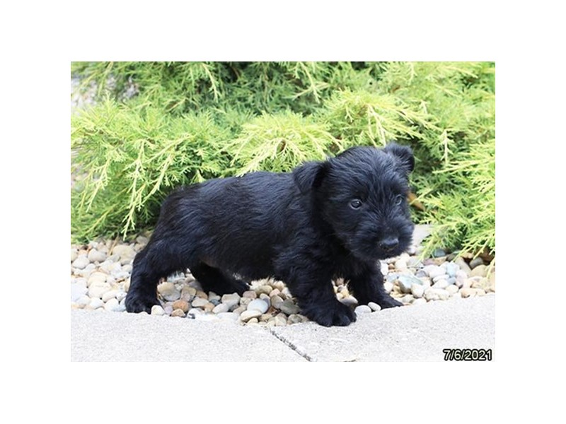 Scottish Terrier- Available 8/5-DOG-Female-Black-3246604-PetCenter Old Bridge Puppies For Sale
