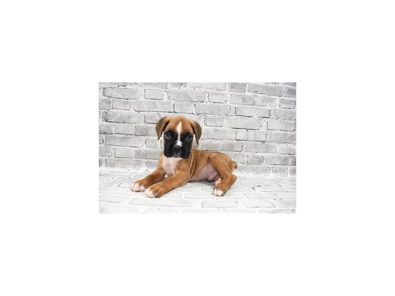 Boxer- Available 8/5-DOG-Male-Fawn-3249026-PetCenter Old Bridge Puppies For Sale