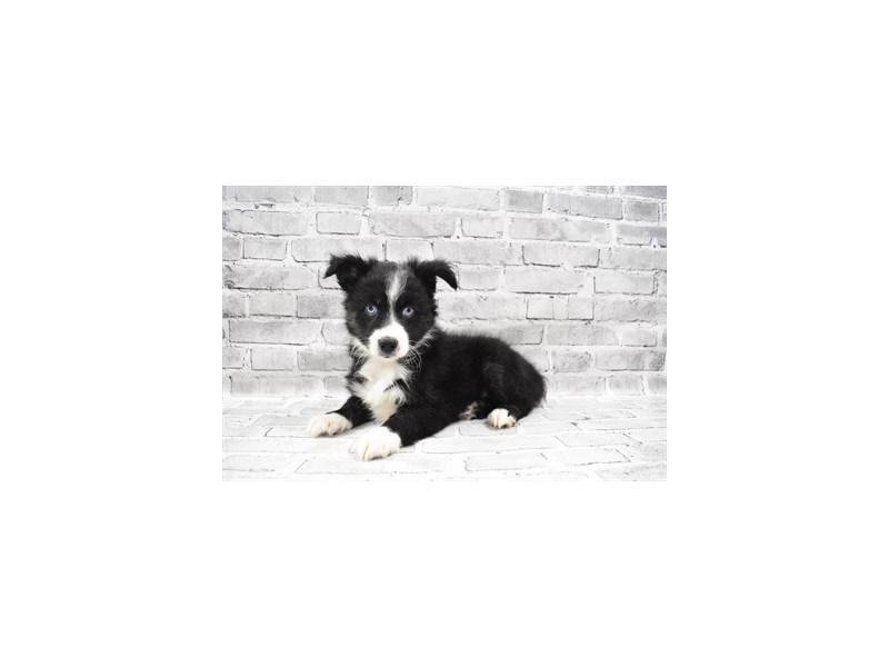 Miniature American Shepherd- Available 8/5-DOG-Female-Black-3249035-PetCenter Old Bridge Puppies For Sale