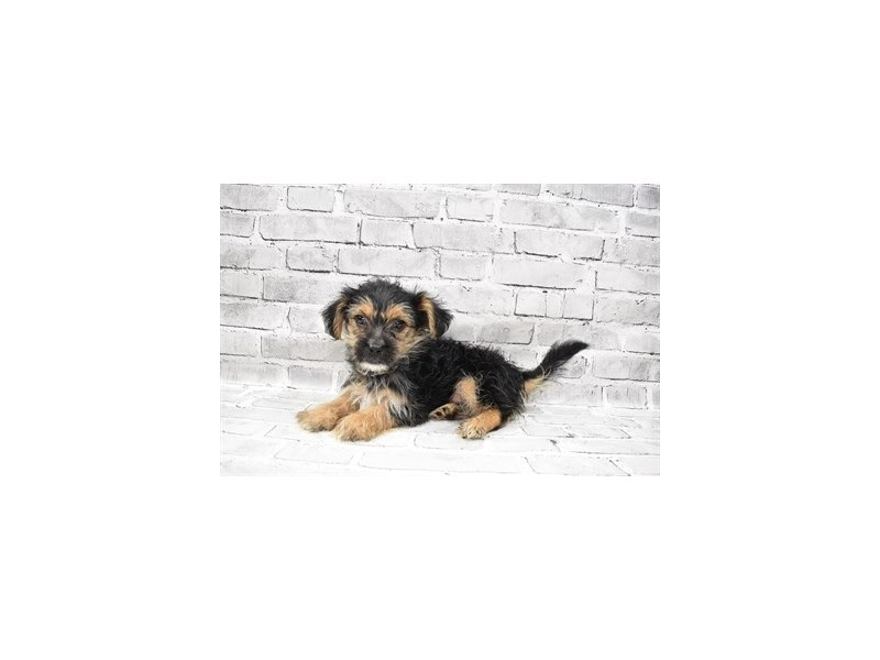 Morkie- Available 8/5-DOG-Male-Black and Tan-3249073-PetCenter Old Bridge Puppies For Sale