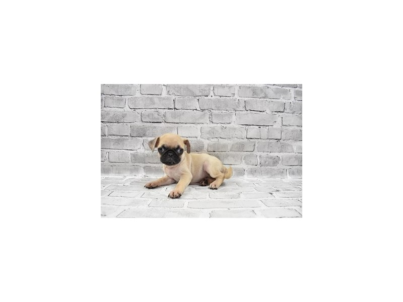 Pug- Available 8/5-DOG-Male-Fawn-3249078-PetCenter Old Bridge Puppies For Sale