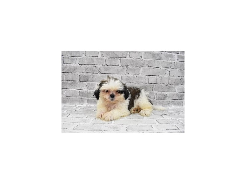 Shih Tzu- Available 8/5-DOG-Female-Brindle and White-3249160-PetCenter Old Bridge Puppies For Sale