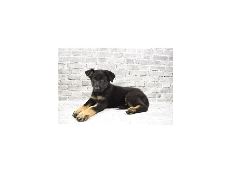 German Shepherd- Available 8/5-DOG-Female-Black and Tan-3249182-PetCenter Old Bridge Puppies For Sale