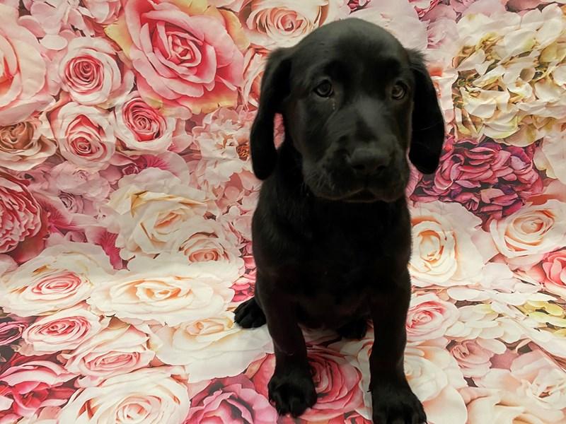 Labrador Retriever-Female-Black-3246597-PetCenter Old Bridge Puppies For Sale