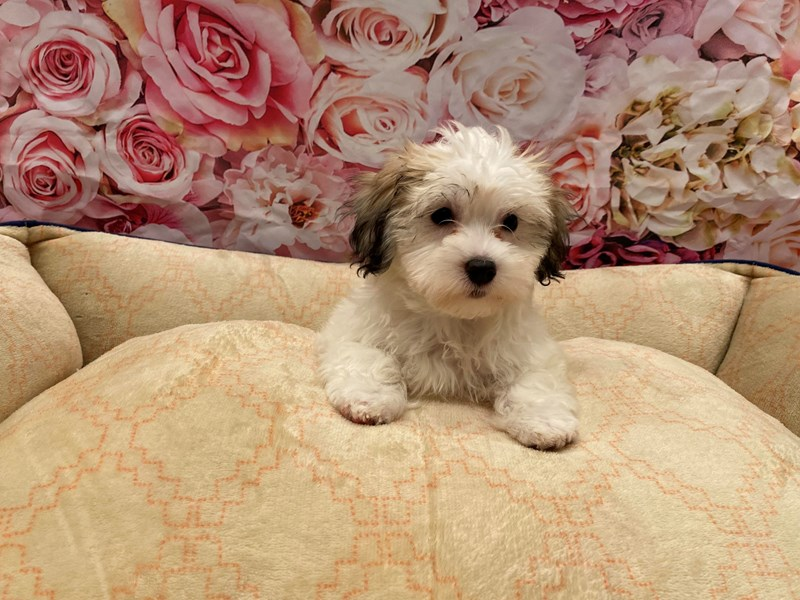 Coton De Tulear-Female-Brown / White-3246596-PetCenter Old Bridge Puppies For Sale
