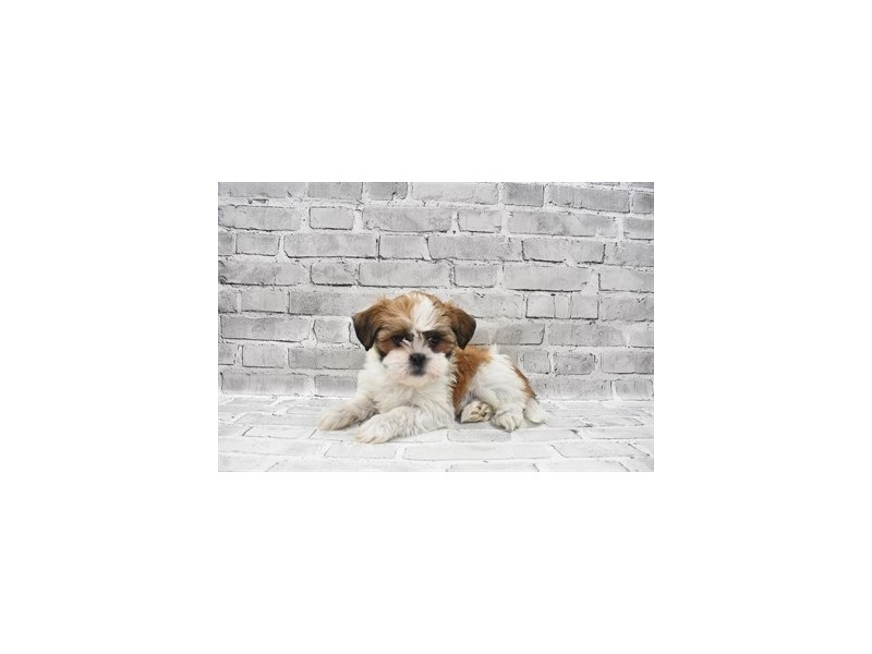 Lhasa Apso- Available 8/12-DOG-Female-Red-3259672-PetCenter Old Bridge Puppies For Sale
