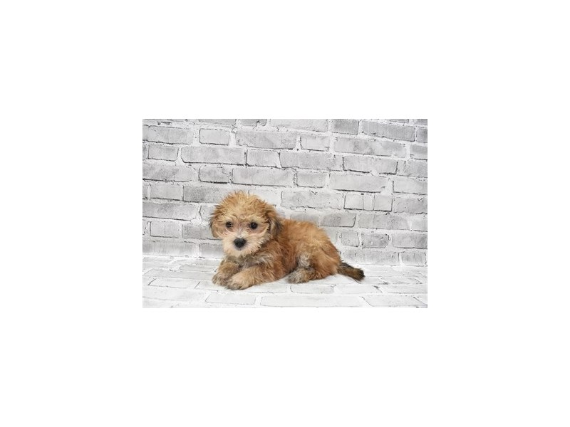 Morkie- Available 8/12-DOG-Female-Gold-3259674-PetCenter Old Bridge Puppies For Sale