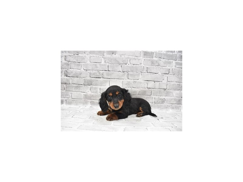 Dachshund-Female-Black and Tan-3259676-PetCenter Old Bridge Puppies For Sale
