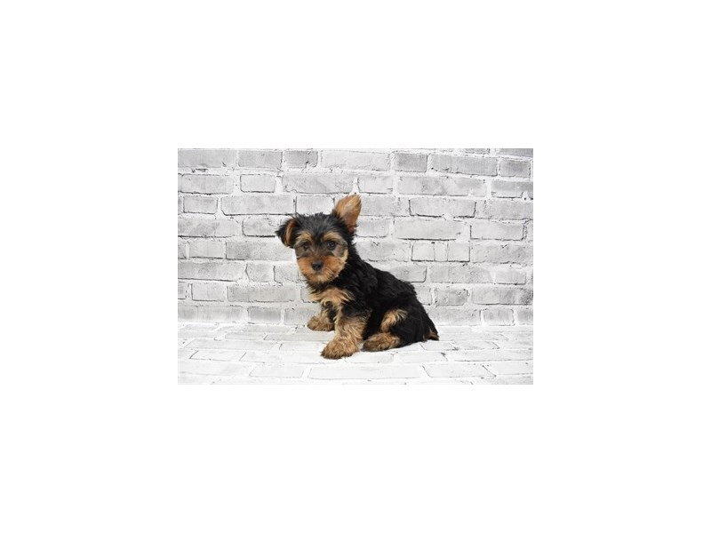 Yorkshire Terrier- Available 8/12-DOG-Male-Black and Tan-3259678-PetCenter Old Bridge Puppies For Sale