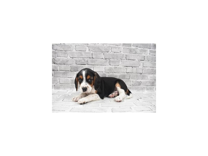 Beaglier- Available 8/12-DOG-Male-Black White and Tan-3259680-PetCenter Old Bridge Puppies For Sale