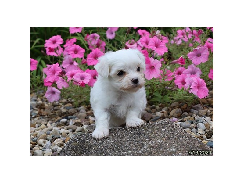 Maltese- Available 8/19-DOG-Male-White-3266245-PetCenter Old Bridge Puppies For Sale