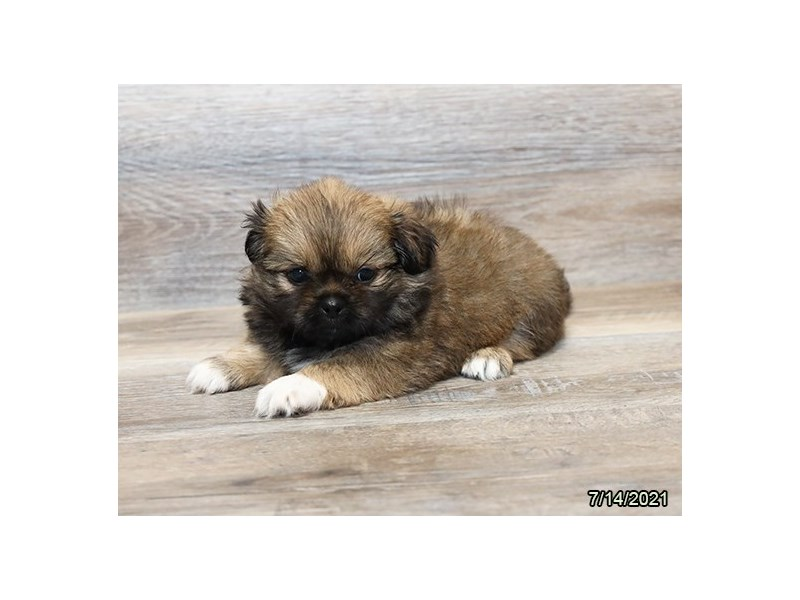 Pekingese- Available 8/19-DOG-Female-Fawn-3266247-PetCenter Old Bridge Puppies For Sale