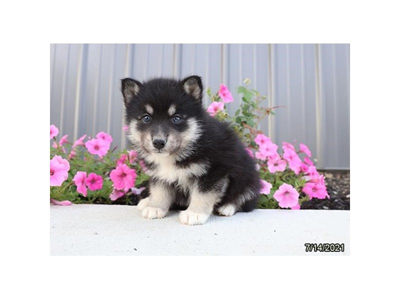 Pomsky- Available 8/19-DOG-Male-Black Tan / White-3266249-PetCenter Old Bridge Puppies For Sale