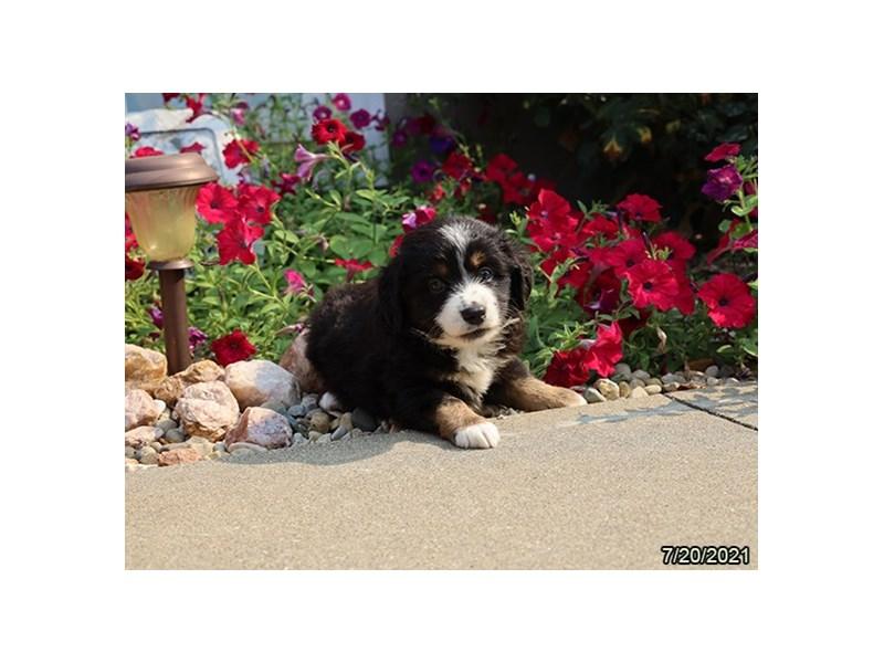 Miniature Australian Shepherd- Available 8/19-Female-Black-3266254-PetCenter Old Bridge Puppies For Sale