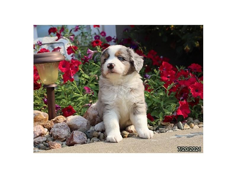 Miniature Australian Shepherd- Available 8/19-DOG-Male-Blue Merle-3266255-PetCenter Old Bridge Puppies For Sale