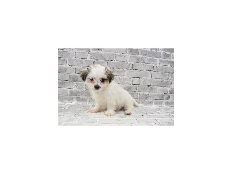 Mal-Shi- Available 8/19-DOG-Male-Gold and White-3267246-PetCenter Old Bridge Puppies For Sale