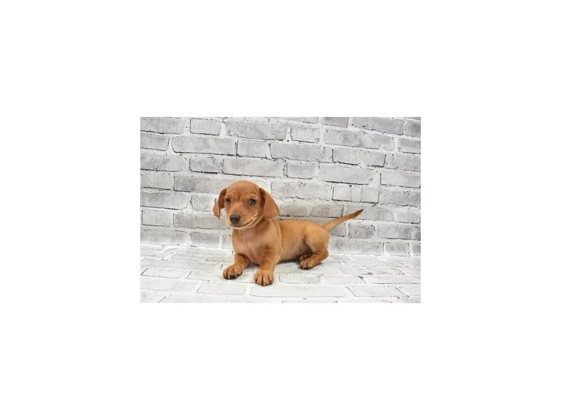 Chiweenie- Available 8/19-DOG-Male-Red-3267373-PetCenter Old Bridge Puppies For Sale