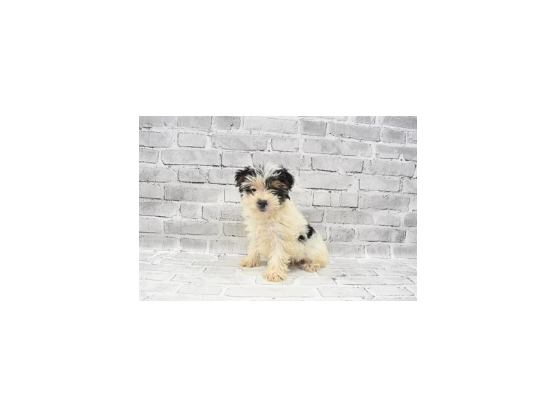 Yorkshire Terrier- Available 8/19-DOG-Female-Black Tan and White-3267399-PetCenter Old Bridge Puppies For Sale