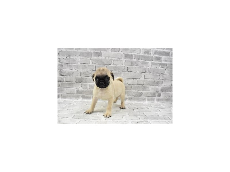 Pug- Available 8/19-DOG-Male-Fawn-3267436-PetCenter Old Bridge Puppies For Sale