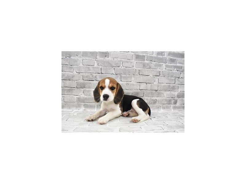 Beagle - Available 8/26-DOG-Female-Black White and Tan-3273170-PetCenter Old Bridge Puppies For Sale