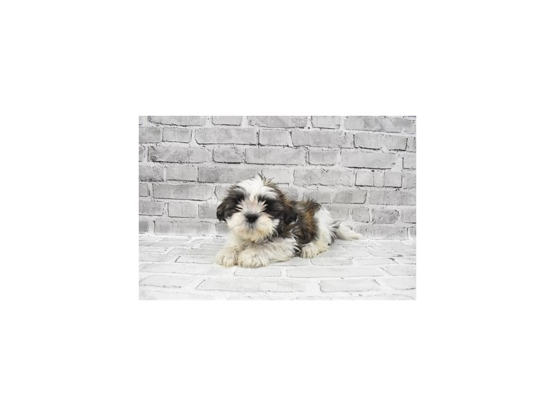 Shih Tzu - Available 8/26-DOG-Female-Silver Gold and White-3273177-PetCenter Old Bridge Puppies For Sale