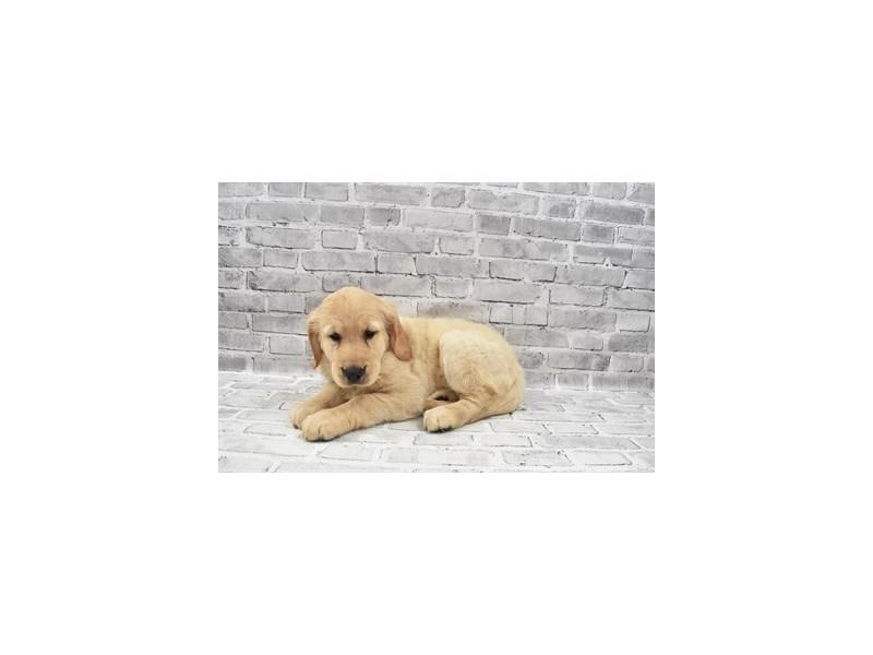 Golden Retriever - Available 8/26-DOG-Female-Light Golden-3273183-PetCenter Old Bridge Puppies For Sale