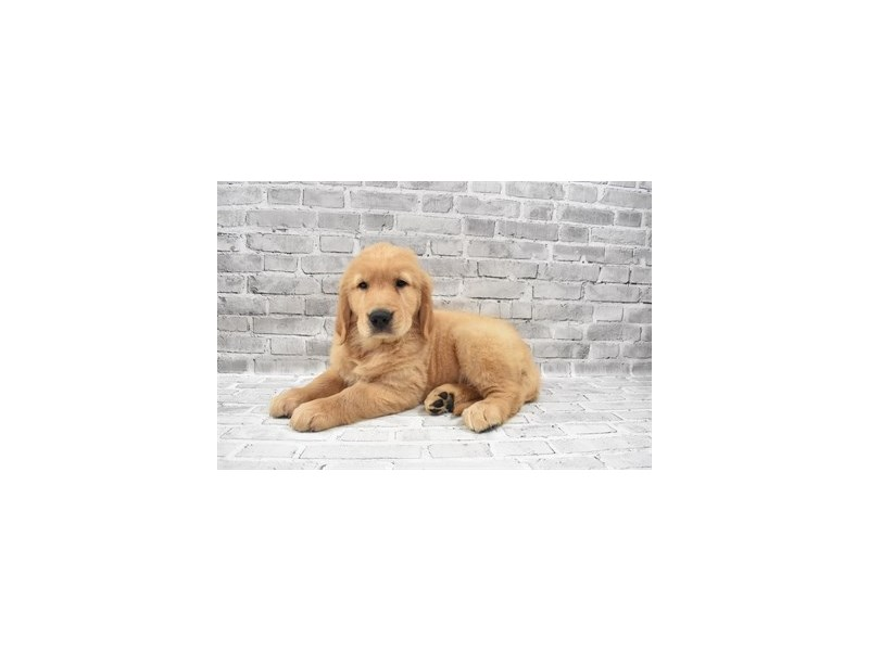 Golden Retriever - Available 8/26-Male-Golden-3273185-PetCenter Old Bridge Puppies For Sale