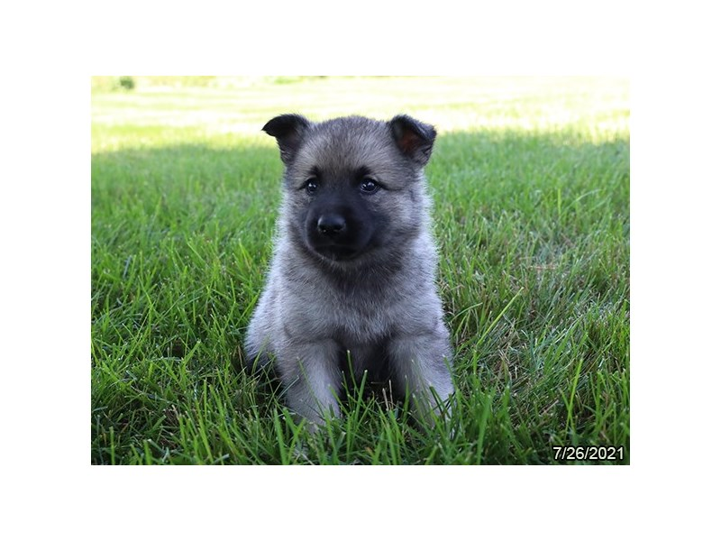 Norwegian Elkhound-DOG-Female-Black / Silver-3275665-PetCenter Old Bridge Puppies For Sale