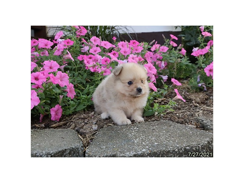 Pomeranian-Male-Fawn-3275667-PetCenter Old Bridge Puppies For Sale