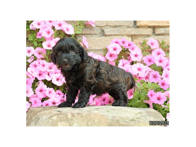 Havapoo- Available 8/26-DOG-Female-Brown-3275689-PetCenter Old Bridge Puppies For Sale