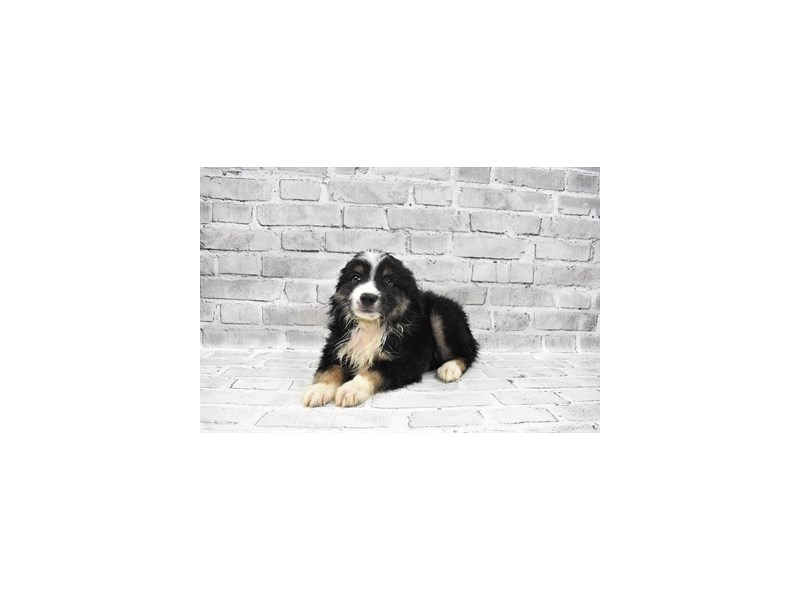 Miniature Australian Shepherd- Available 8/26-DOG-Male-Black White and Brown-3279674-PetCenter Old Bridge Puppies For Sale