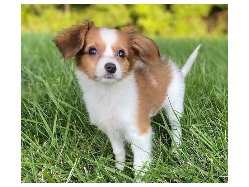 Papillon-Female-Brown / White-3275671-PetCenter Old Bridge Puppies For Sale