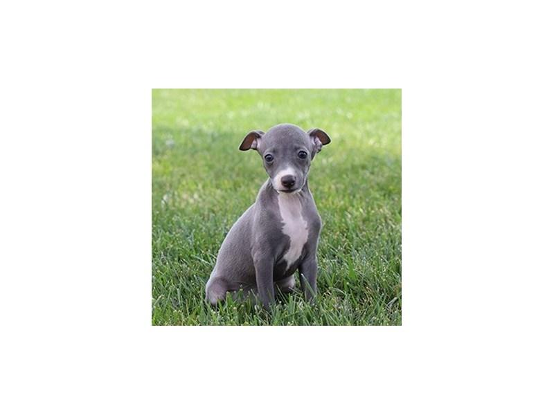 Italian Greyhound-Female-Blue-3275666-PetCenter Old Bridge Puppies For Sale