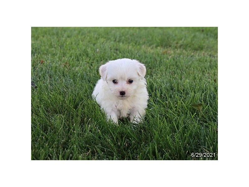 Bichon Frise- Available 7/29-DOG-Female-White-3235445-PetCenter Old Bridge Puppies For Sale