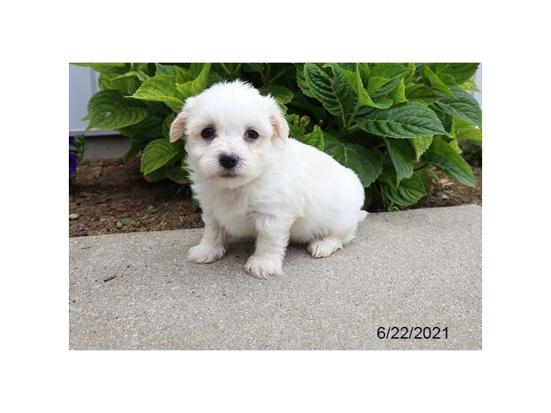 Havanese- Available 7/29-DOG-Female-Cream-3235454-PetCenter Old Bridge Puppies For Sale