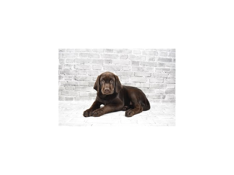 Labrador Retriever-DOG-Female-Chocolate-3238739-PetCenter Old Bridge Puppies For Sale