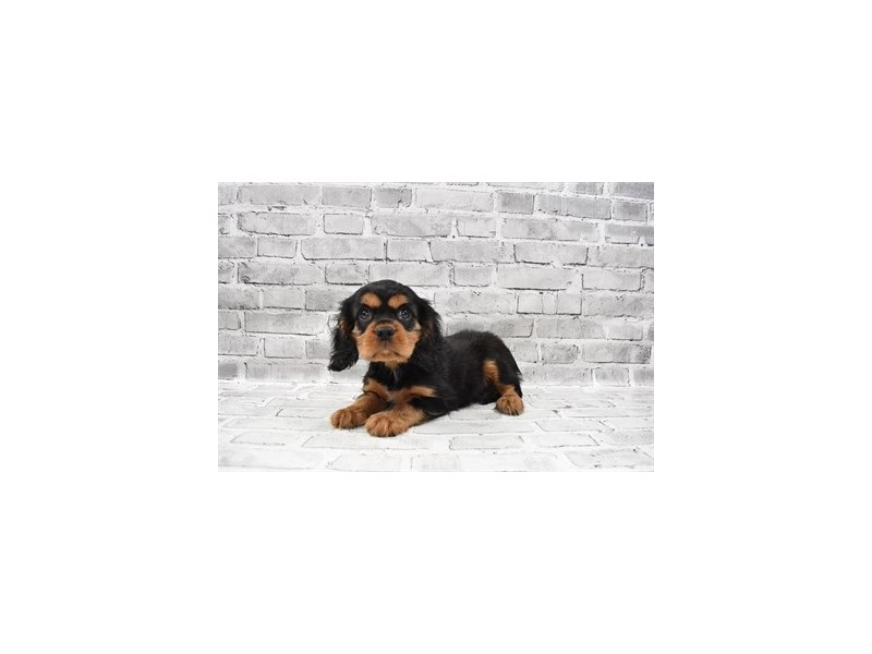 Cavalier King Charles Spaniel- Available 8/5-DOG-Male-Black and Tan-3249061-PetCenter Old Bridge Puppies For Sale