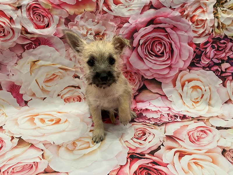 Cairn Terrier-Female-Wheaten-3246595-PetCenter Old Bridge Puppies For Sale