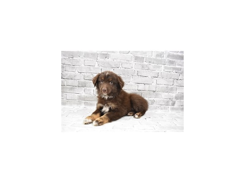 Miniature Australian Shepherd- Available 8/19-Male-Red-3267252-PetCenter Old Bridge Puppies For Sale