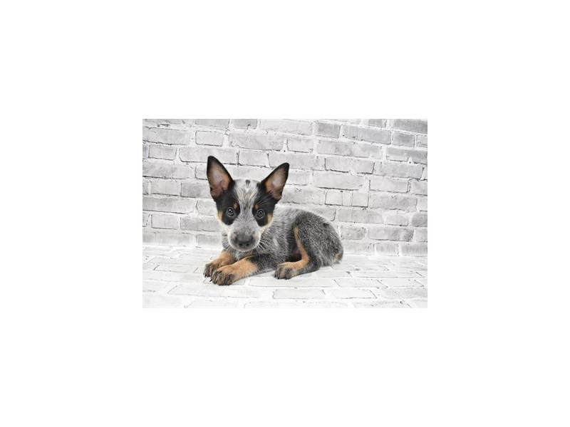 Australian Cattle Dog- Available 8/19-DOG-Male-Blue Mottled-3267368-PetCenter Old Bridge Puppies For Sale