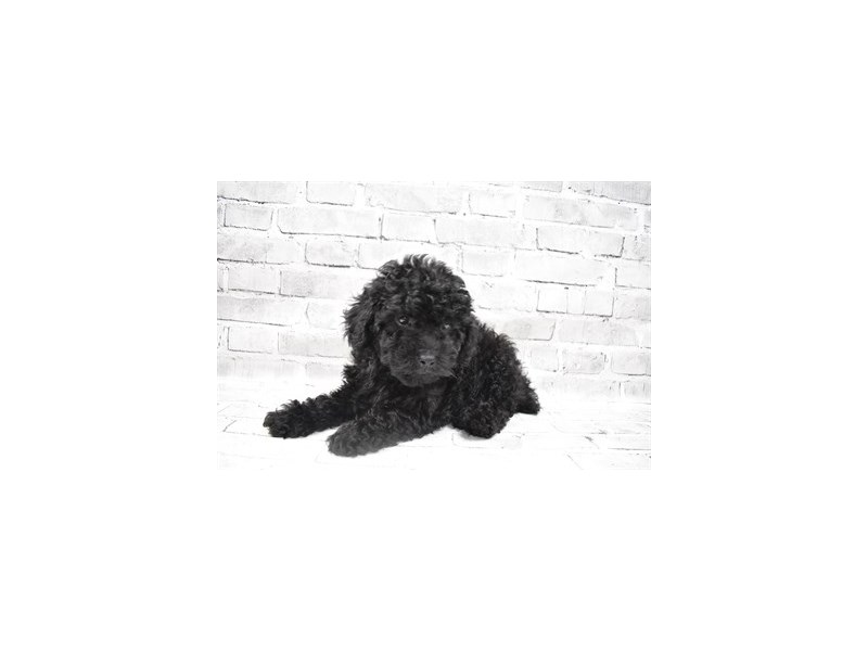 Poodle - Available 8/26-DOG-Male-Black-3273127-PetCenter Old Bridge Puppies For Sale