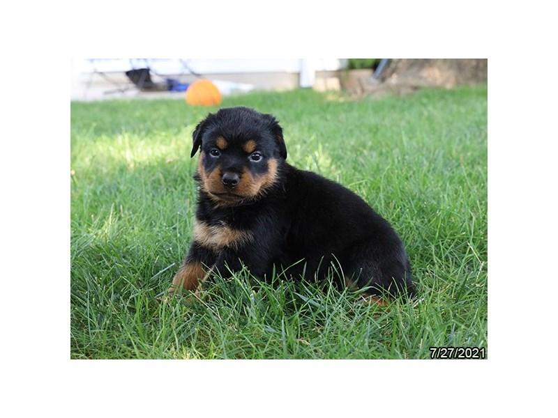 Rottweiler-DOG-Female-Black / Tan-3275670-PetCenter Old Bridge Puppies For Sale