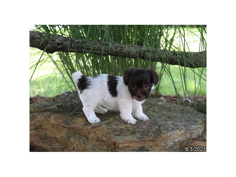 Havanese- Available 9/2-DOG-Male-Chocolate / White-3282602-PetCenter Old Bridge Puppies For Sale
