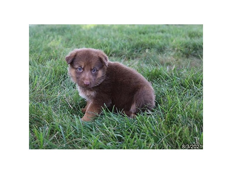 German Shepherd- Available 9/2-DOG-Female-Liver-3282603-PetCenter Old Bridge Puppies For Sale