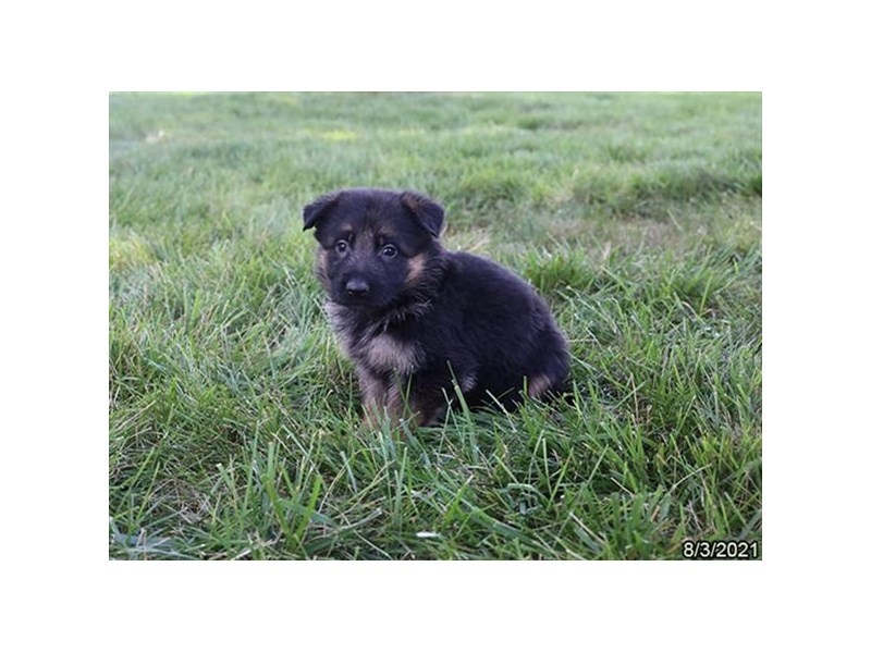 German Shepherd- Available 9/2-Female-Black / Tan-3282604-PetCenter Old Bridge Puppies For Sale