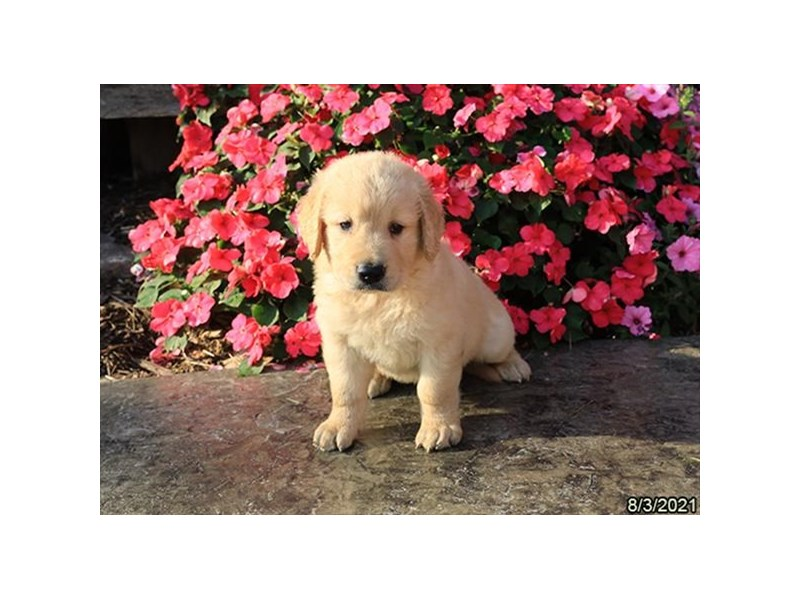 Golden Retriever- Available 9/2-DOG-Male-Golden-3282605-PetCenter Old Bridge Puppies For Sale
