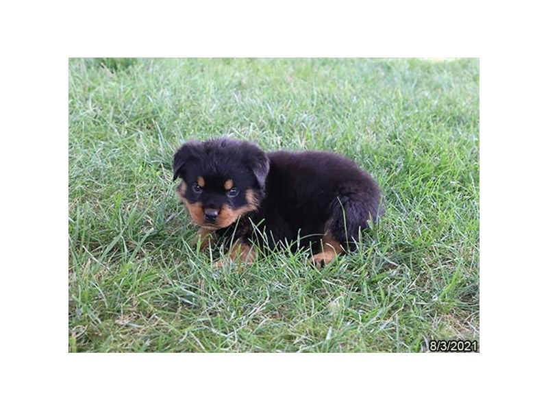 Rottweiler- Available 9/2-DOG-Male-Black / Tan-3282606-PetCenter Old Bridge Puppies For Sale