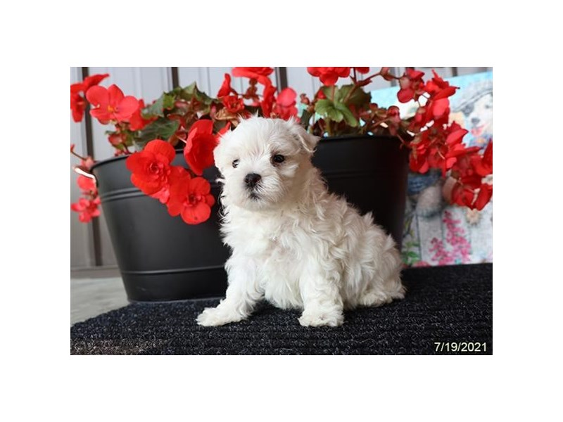 Maltese- Available 9/2-DOG-Male-White-3282607-PetCenter Old Bridge Puppies For Sale